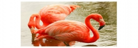 What do the captive flamingos do in the night?